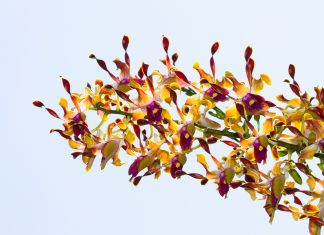 Dendrobium orchid hybrid yellow flowers cleaning air