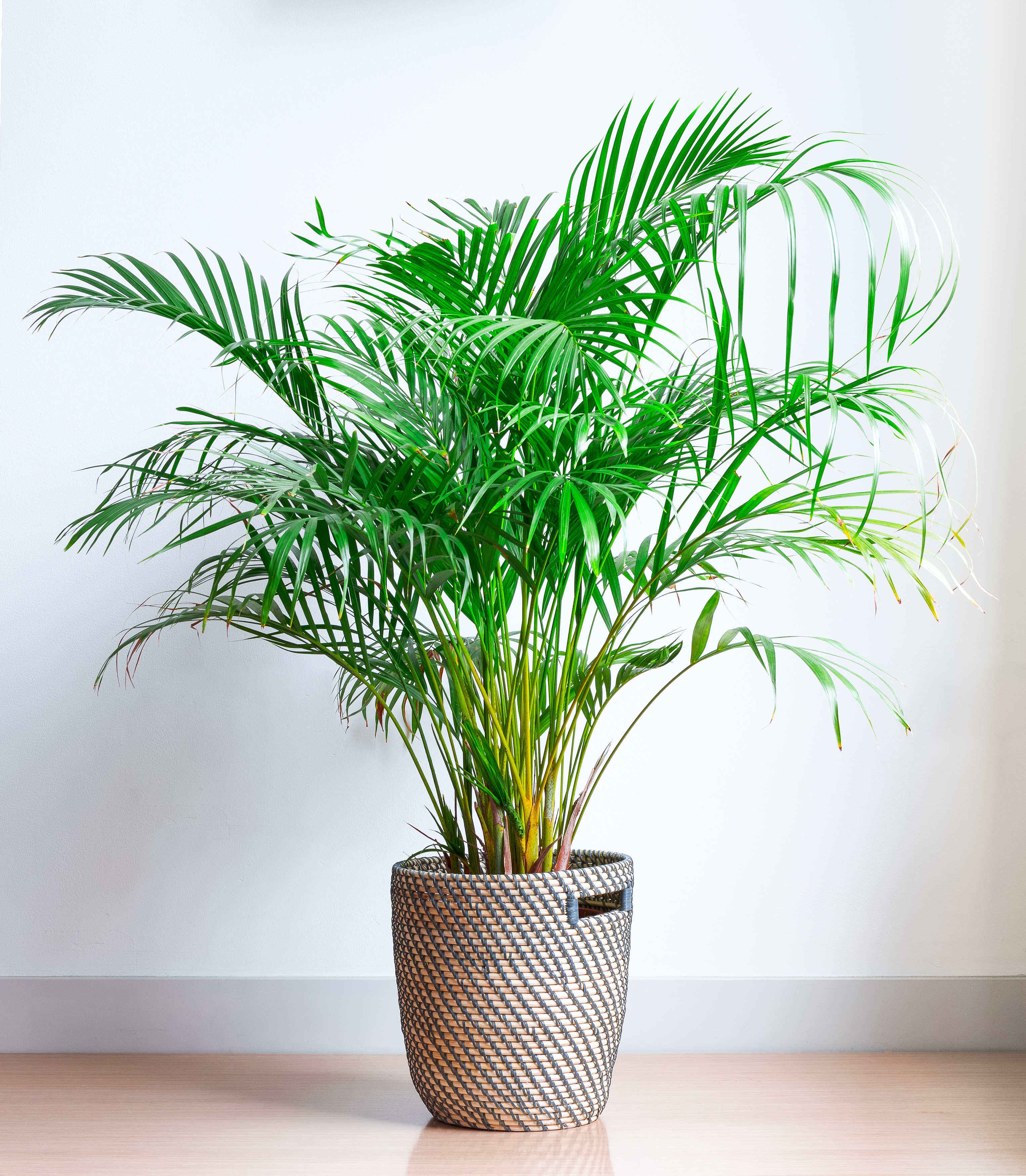 Areca Palm Tree Safe for Cats
