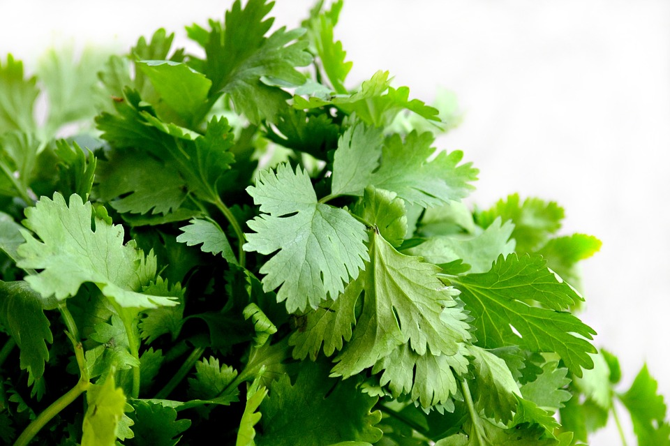 Cilantro for Indoor Gardening