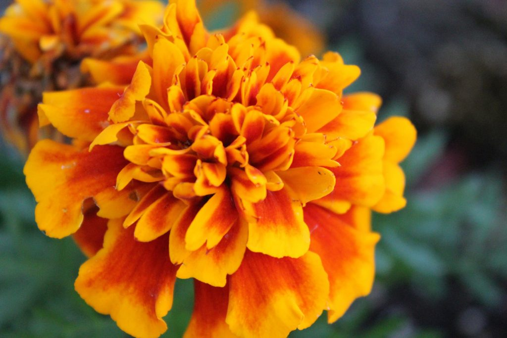 Marigold Benefits