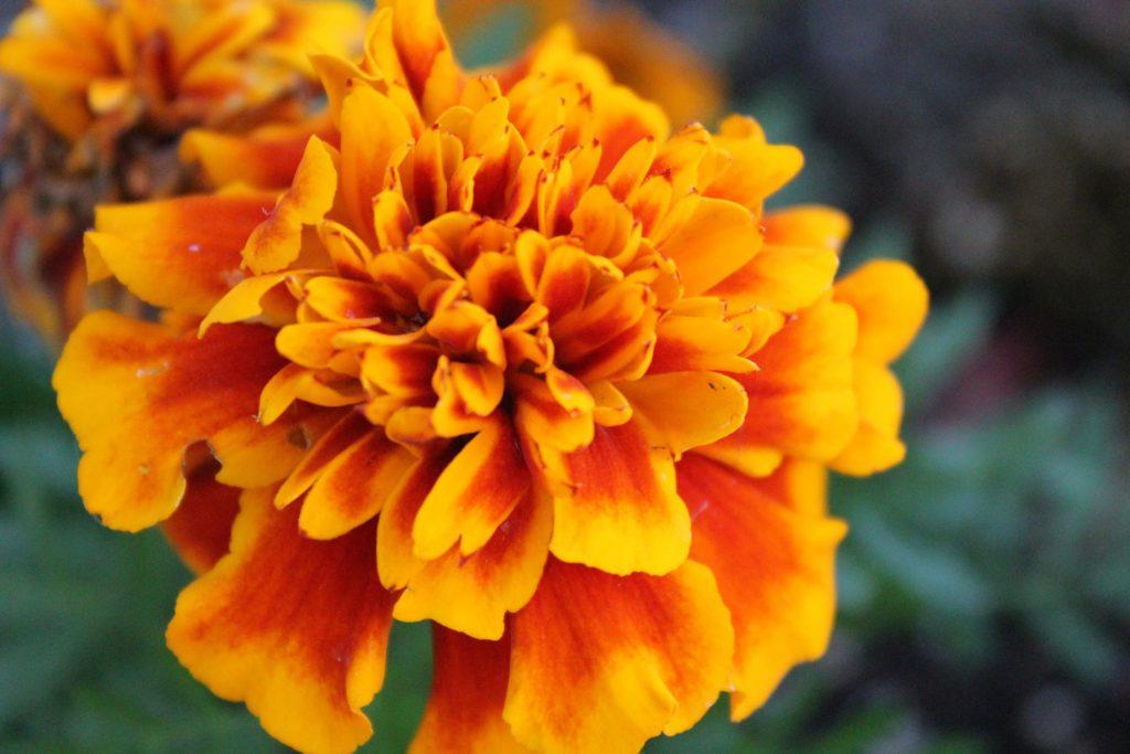 Marigold Benefits