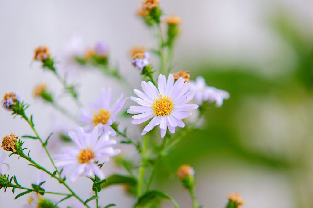 Chamomile Medicinal Properties