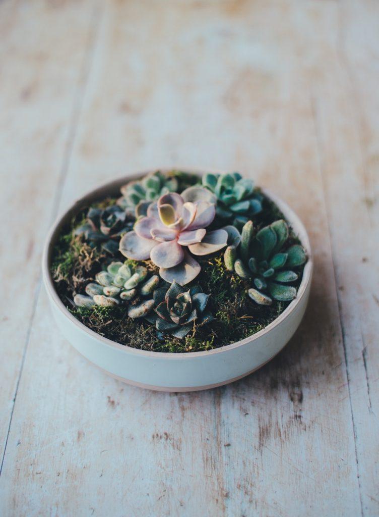 Drought Resistant Succulent