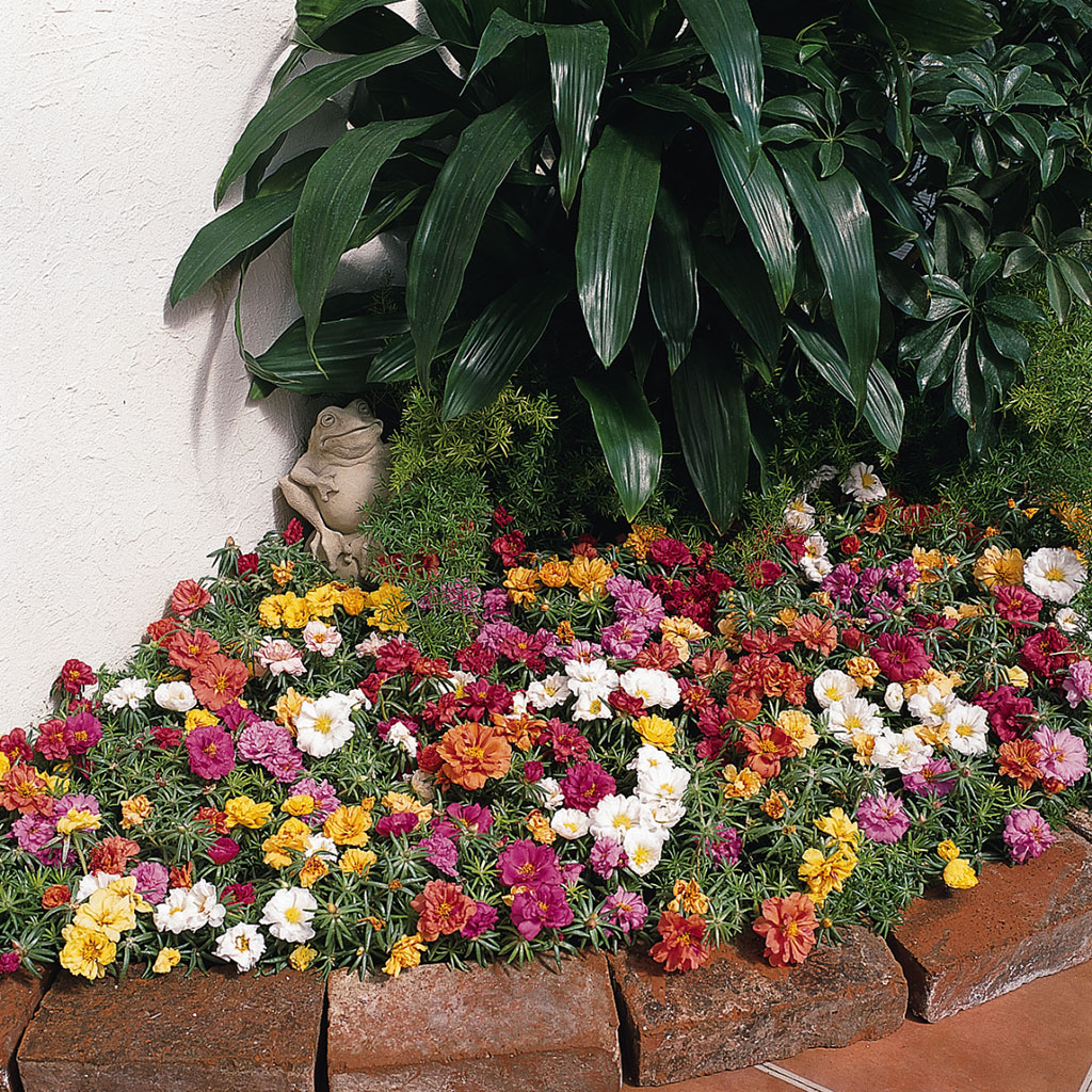 Drought Friendly Portulaca