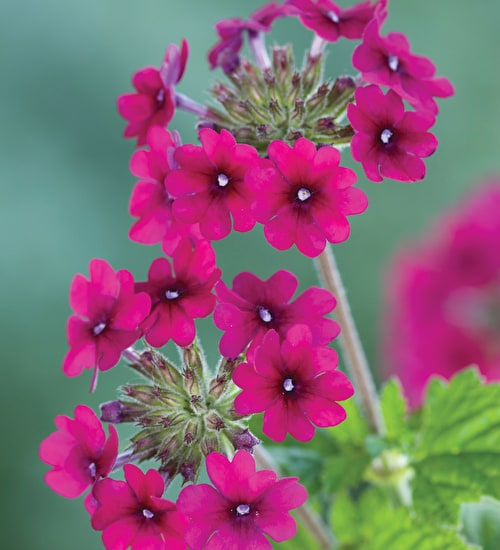 Desert Friendly Verbena