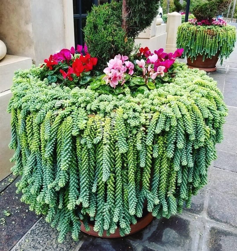 Donkeys Tail Hanging Plant