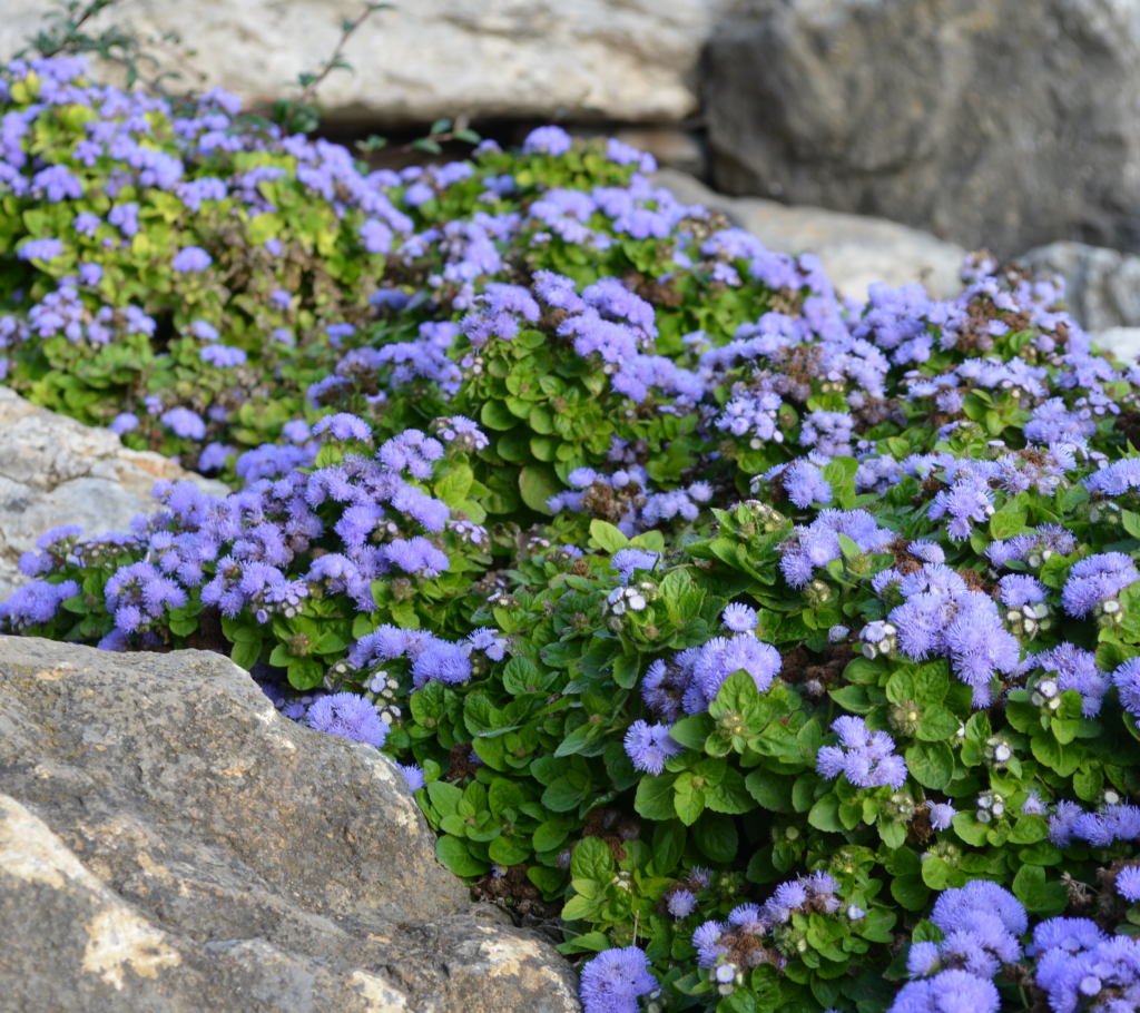 Ageratum - Annual Flowers That Bloom All Summer