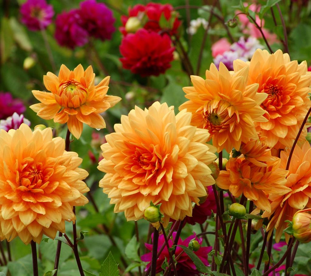 Dahlia - Annual Flowers That Bloom All Summer