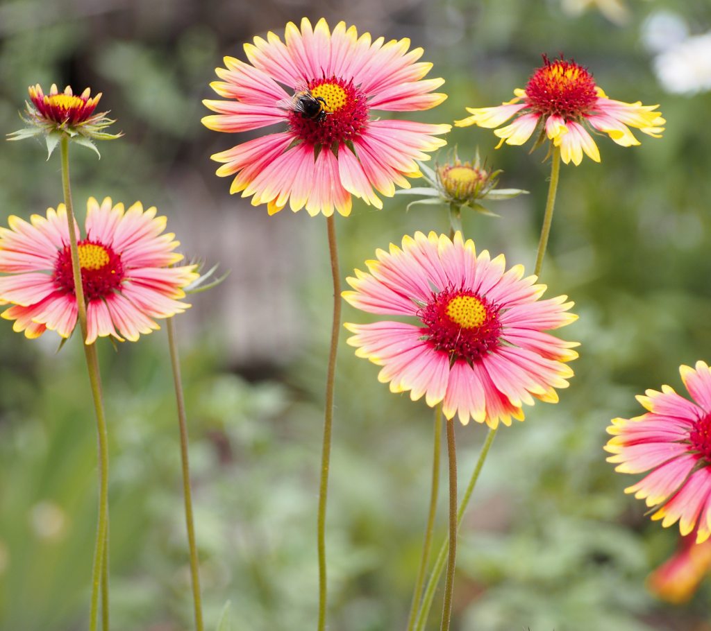 Gaillardia - Annual Flowers That Bloom All Summer