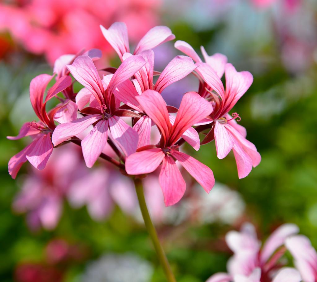 Geranium - Annual Flowers That Bloom All Summer
