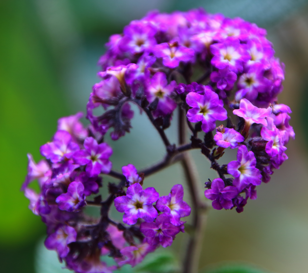 Heliotrope - Annual Flowers That Bloom All Summer