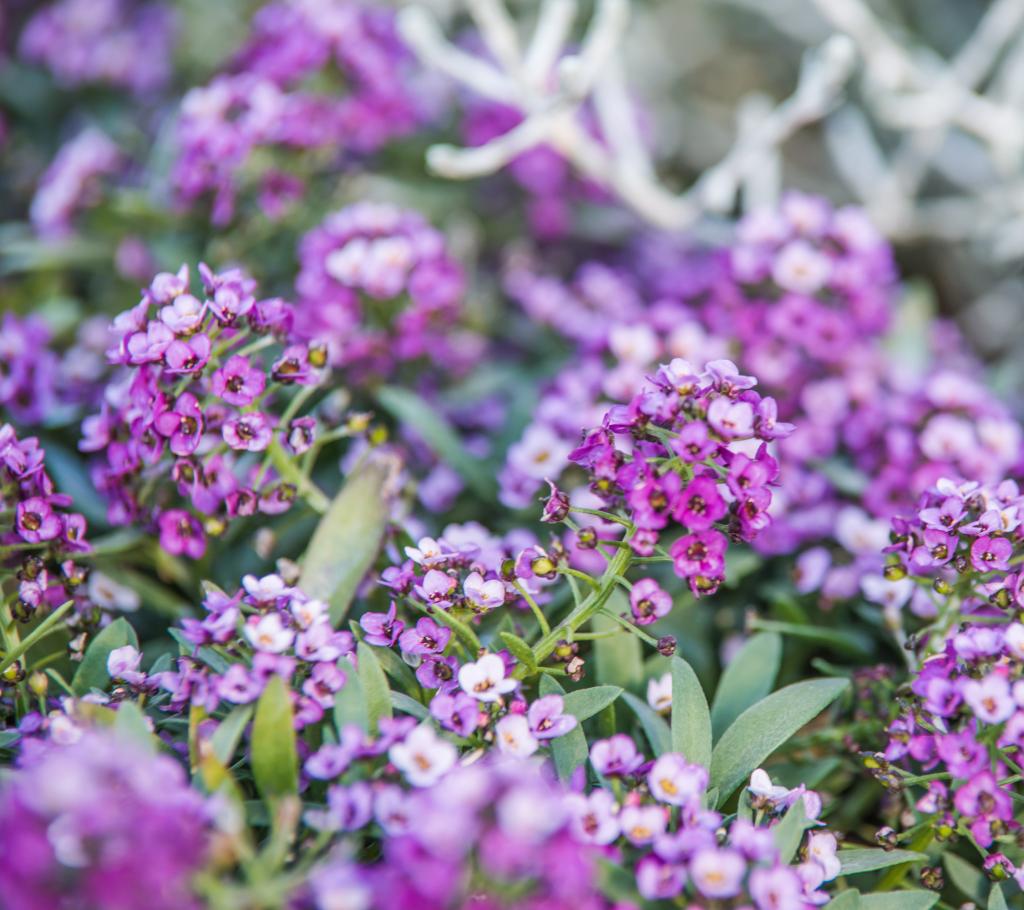 Lobularia - Annual Flowers That Bloom All Summer
