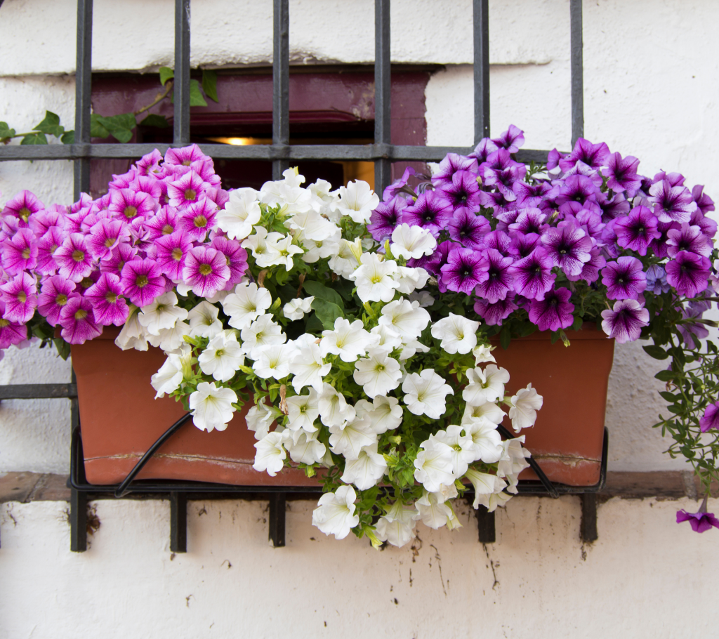 Petunias - Annual Flowers That Bloom All Summer