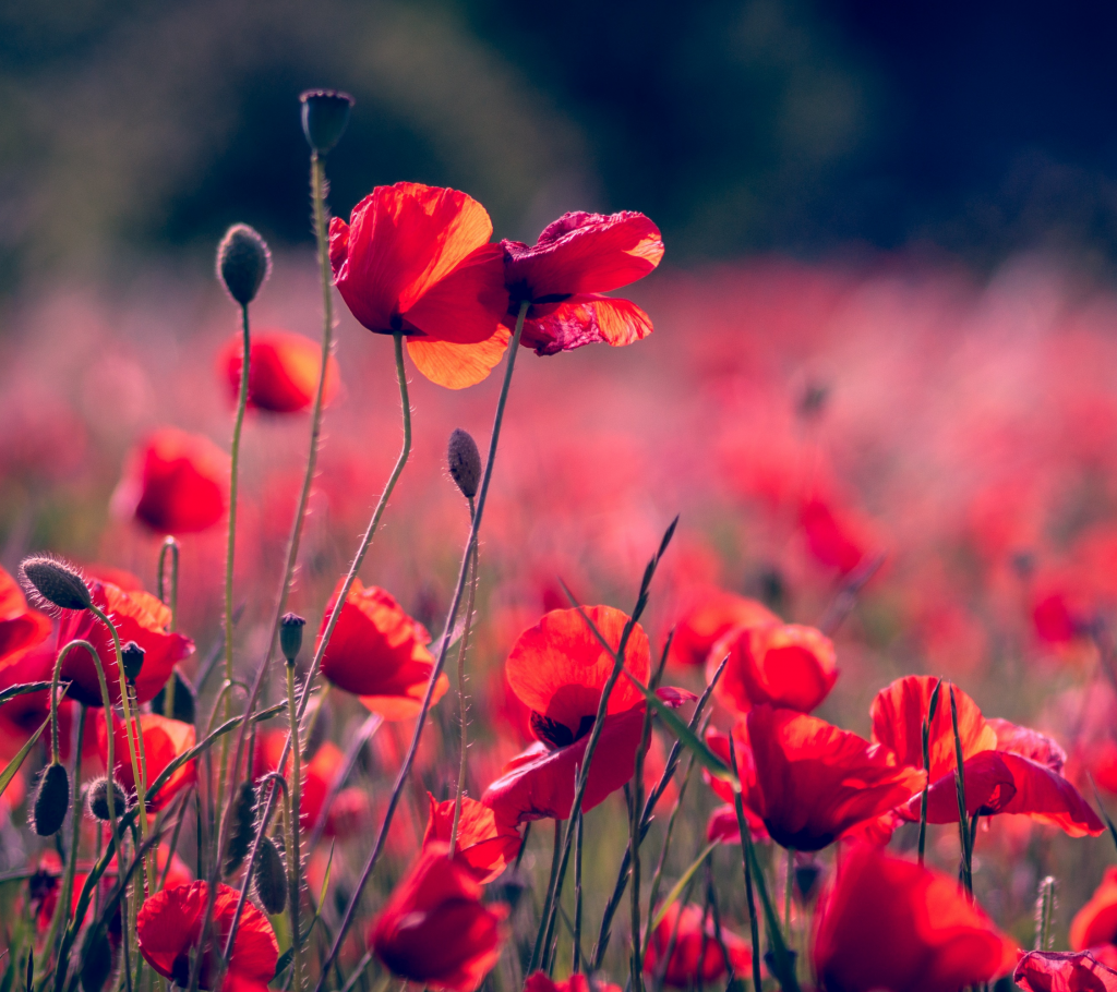 Poppy - Annual Flowers That Bloom All Summer