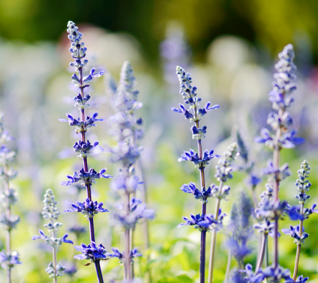 Salvia - Annual Flowers That Bloom All Summer