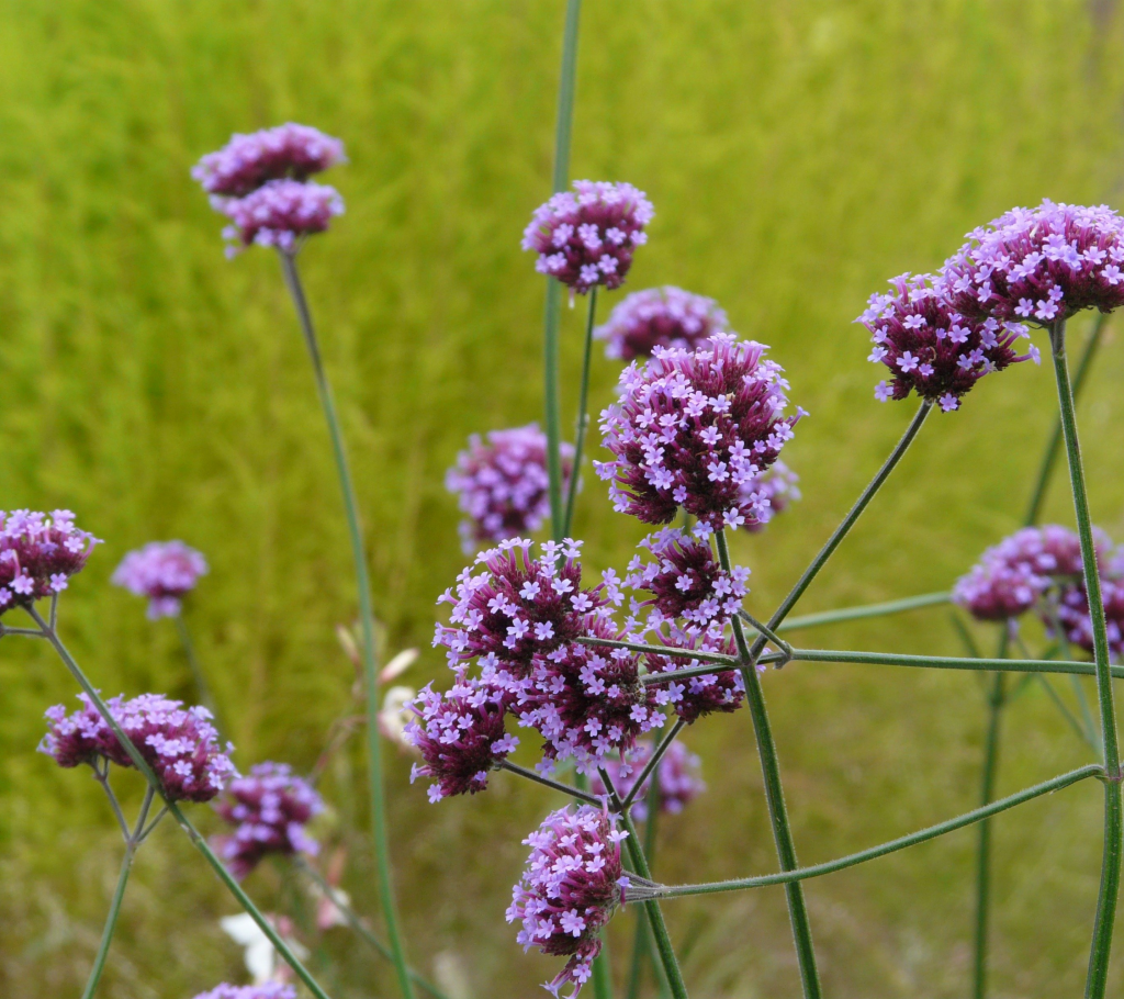 Verbena - Annual Flowers That Bloom All Summer