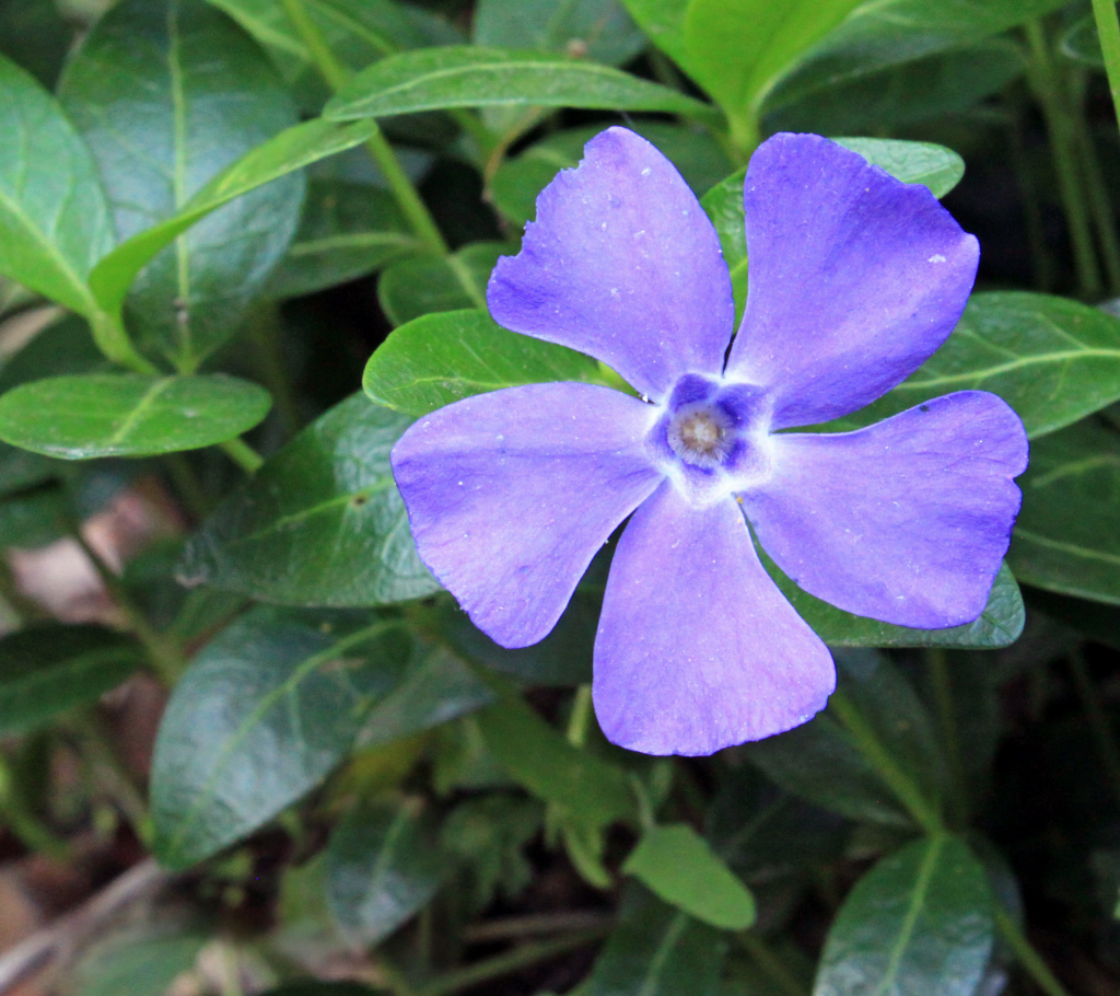 Vinca - Annual Flowers That Bloom All Summer