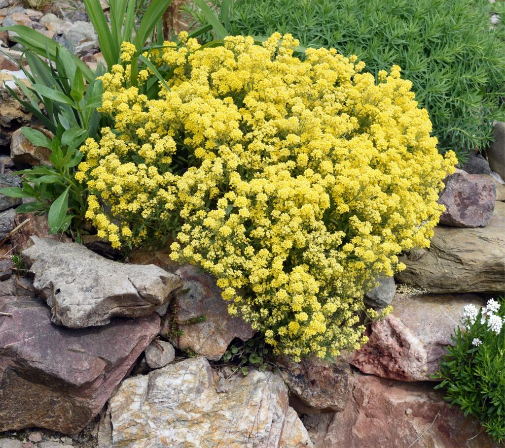 Alyssum - Annual Flowers That Bloom All Summer