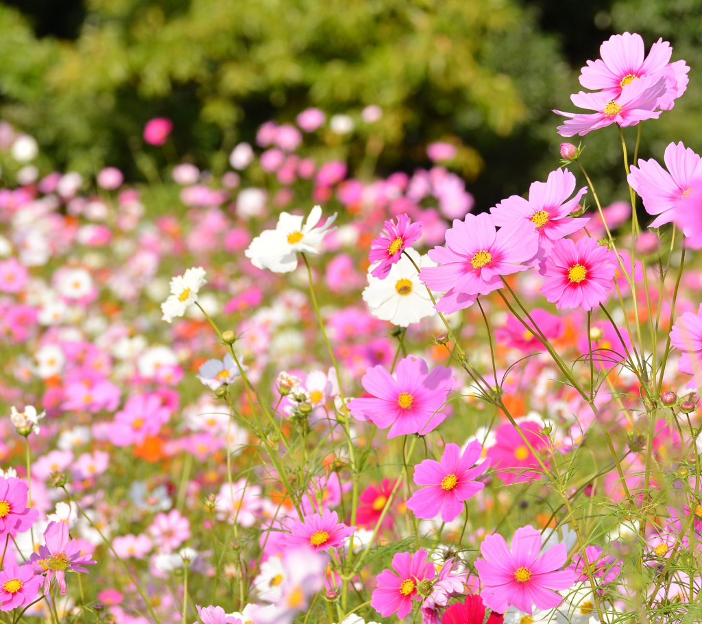 Cosmos - Annual Flowers That Bloom All Summer