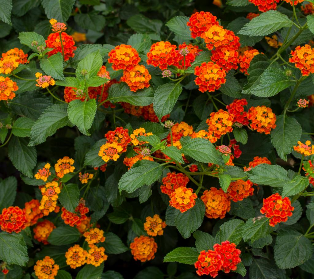 Lantana - Annual Flowers That Bloom All Summer