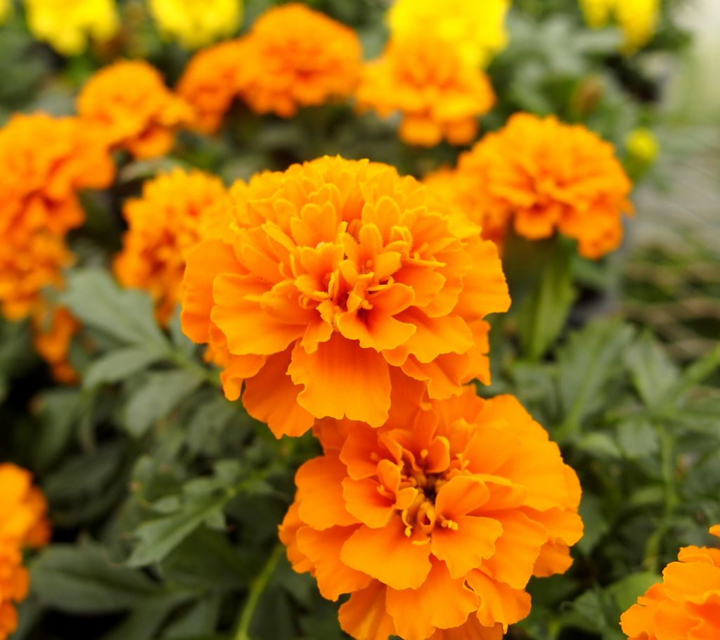 Marigold - Annual Flowers That Bloom All Summer