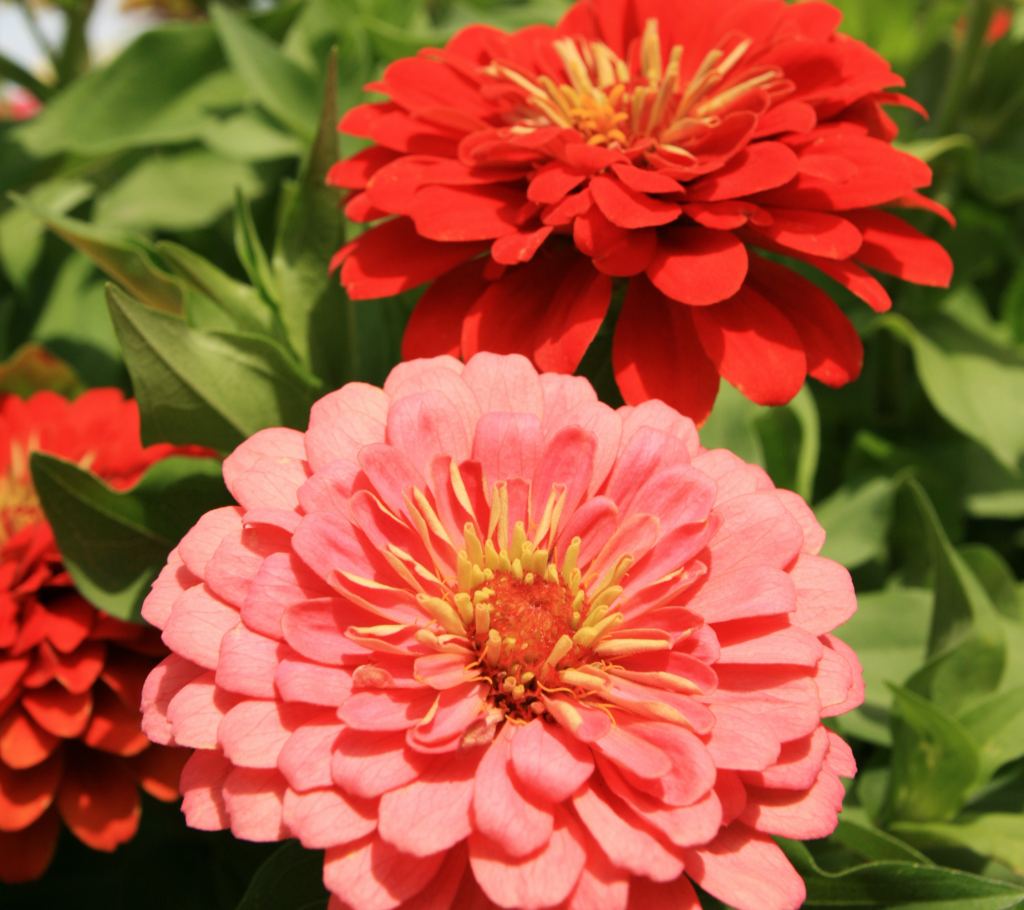 Zinnia - Annual Flowers That Bloom All Summer