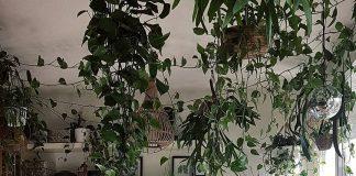 Indoor Hanging Plants Guide