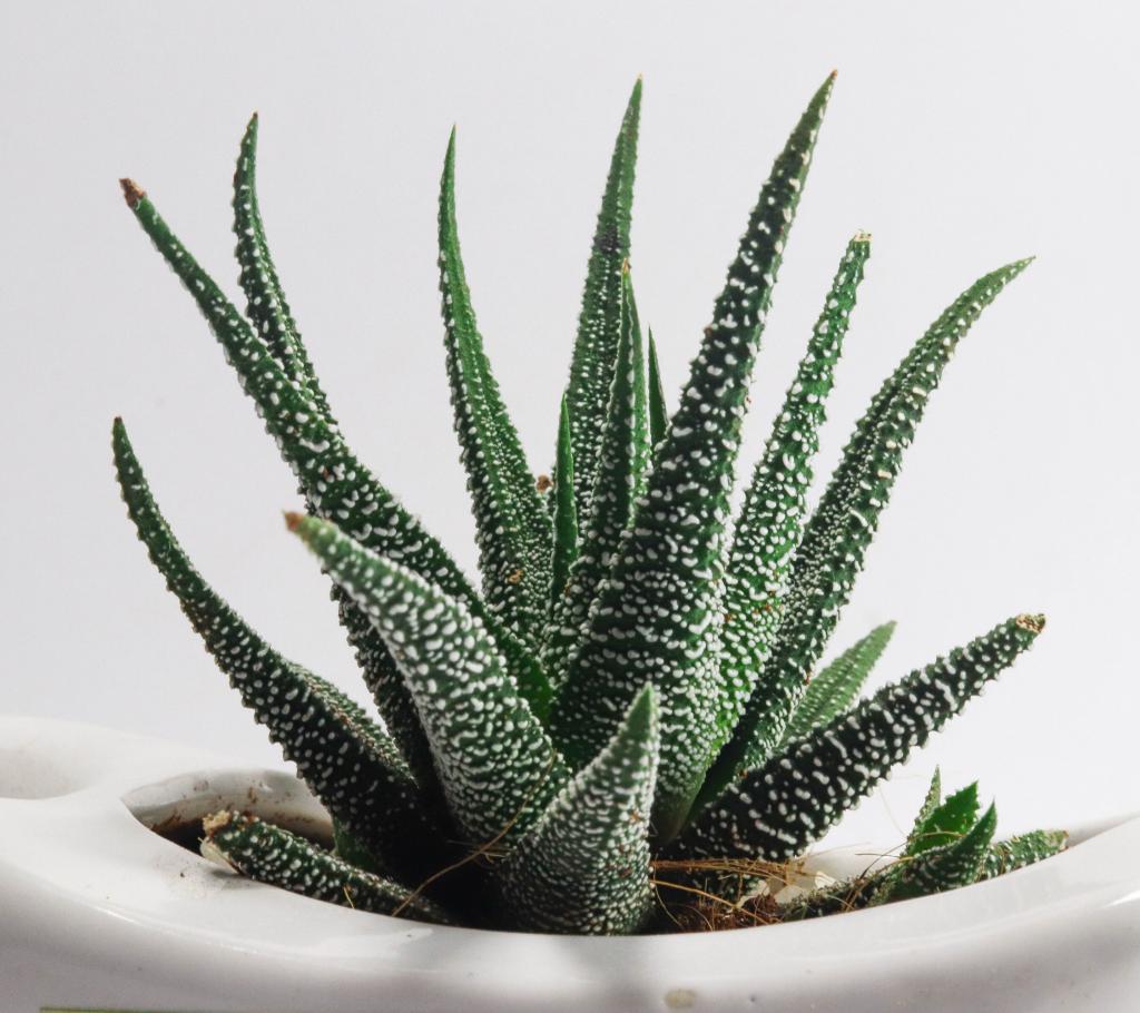 Indoor Hanging Plants Guide - Aloe Vera