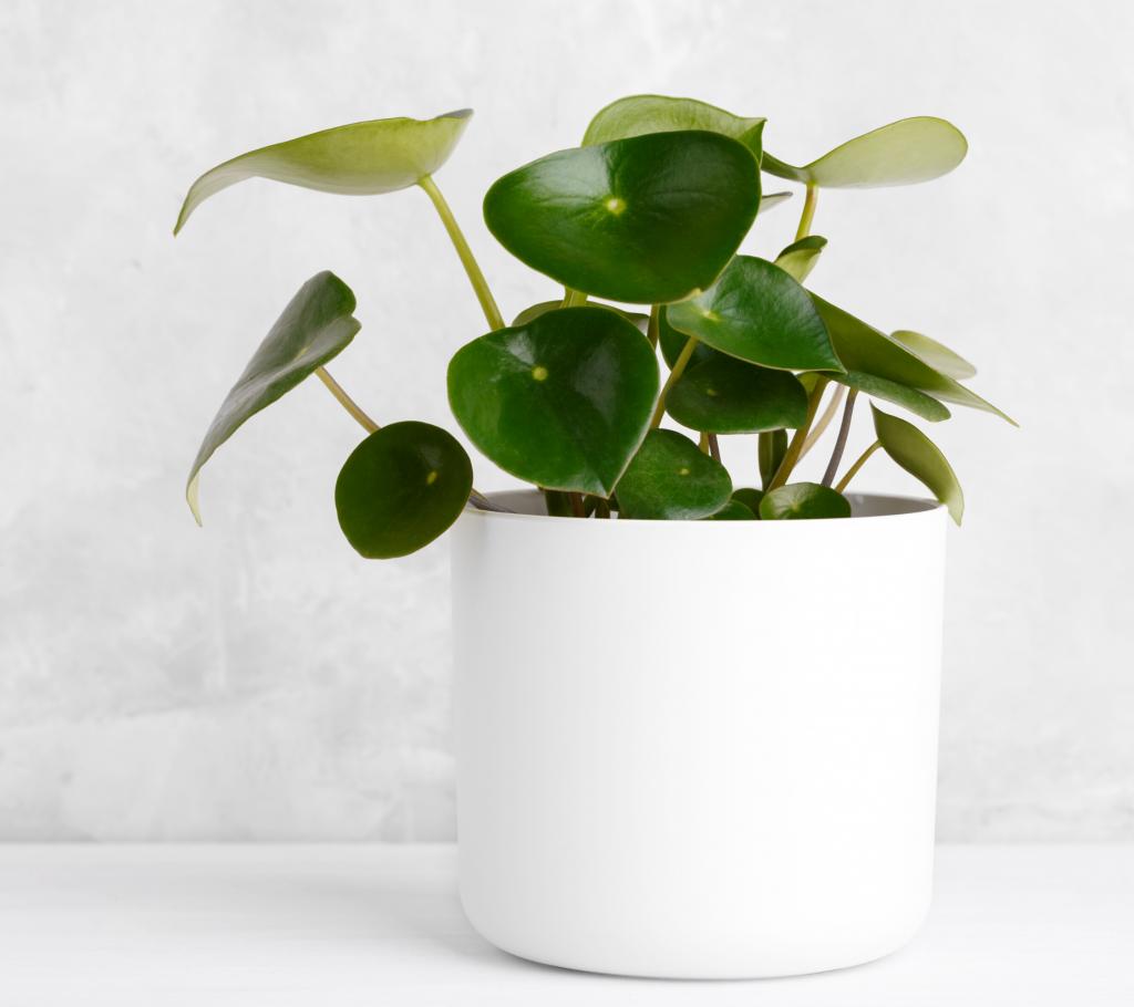 Indoor Hanging Plants Guide - Peperomia