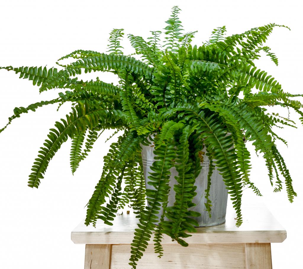 Indoor Hanging Plants Guide - Boston Fern