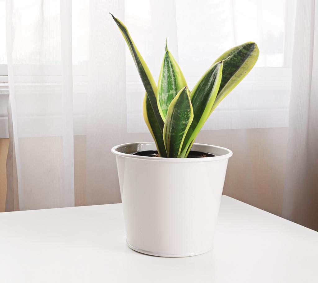 Indoor Hanging Plants Guide - Snake Plant
