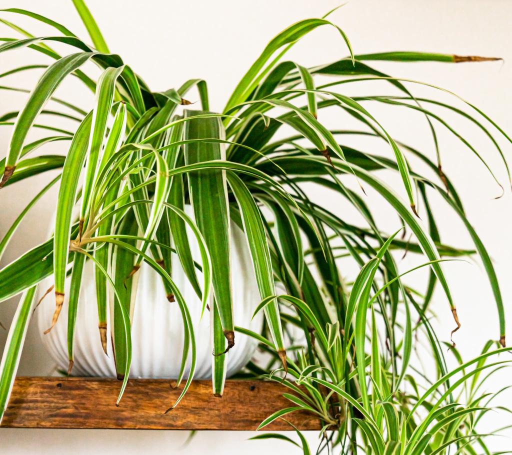 Indoor Hanging Plants Guide - Spider Plant