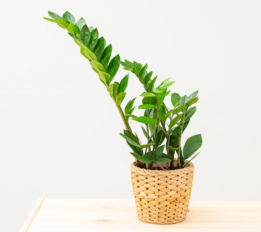 Indoor Hanging Plants Guide - ZZ Plant