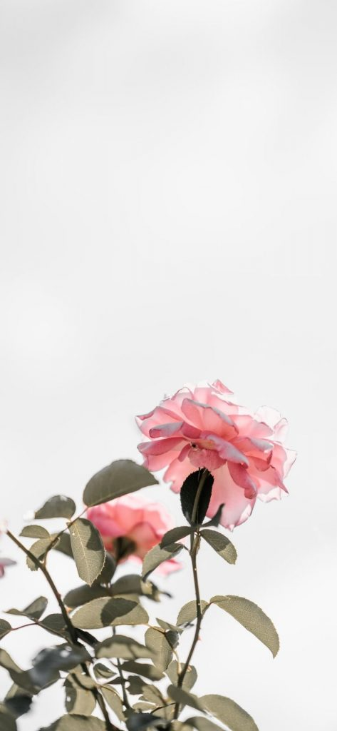 50+ Pretty Rose iPhone Wallpapers